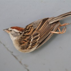 Chipping Sparrow (native sparrow)
