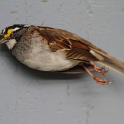 White-throated Sparrow (native sparrow)